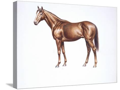 English Thoroughbred (Equus Caballus), Illustration--Stretched Canvas Print