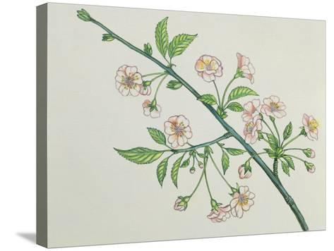 Close-Up of Korean Cherry Blossoms on a Branch (Prunus Japonica)--Stretched Canvas Print