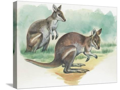 Close-Up of a Wallaby Kangaroo with its Joey--Stretched Canvas Print
