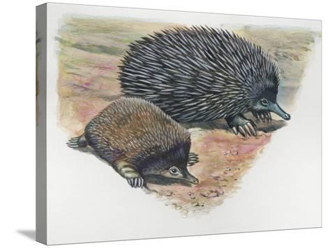 Close-Up of a Short-Beaked Echidna with its Young (Tachyglossus Aculeatus)--Stretched Canvas Print
