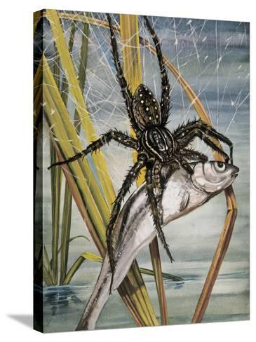 Close-Up of a Raft Spider Hunting a Fish (Dolomedes Fimbriatus)--Stretched Canvas Print
