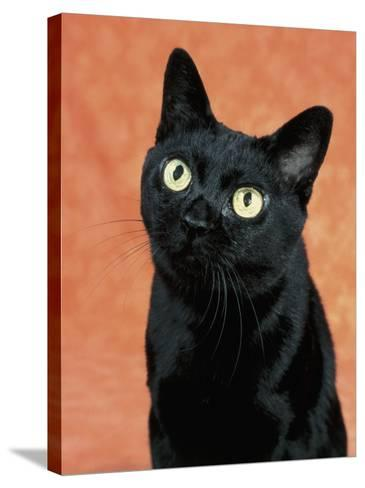 Close-Up of a Bombay Cat-D^ Robotti-Stretched Canvas Print