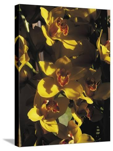 Close-Up of Orchid Flowers-C^ Sappa-Stretched Canvas Print