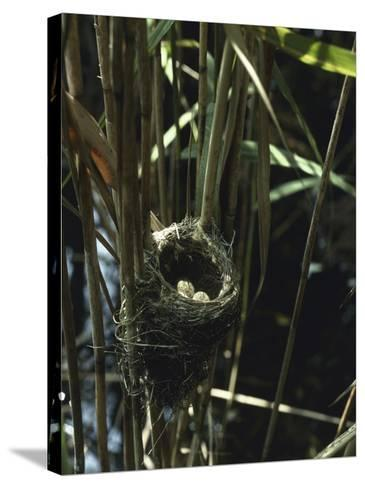 Close-Up of a Reedwarbler's Nest and Eggs (Acrocephalus Scirpaceus)-G^ Bellani-Stretched Canvas Print