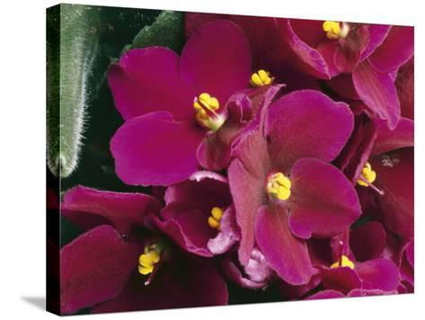 Close-Up of an African Violet Flower (Saintpaulia Ionantha)-C^ Dani-Stretched Canvas Print