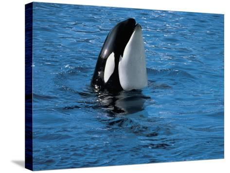 High Angle View of a Killer Whale in Water (Orcinus Orca)--Stretched Canvas Print