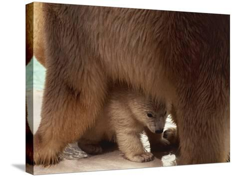 Close-Up of a Polar Bear with its Cub (Ursus Maritimus)--Stretched Canvas Print