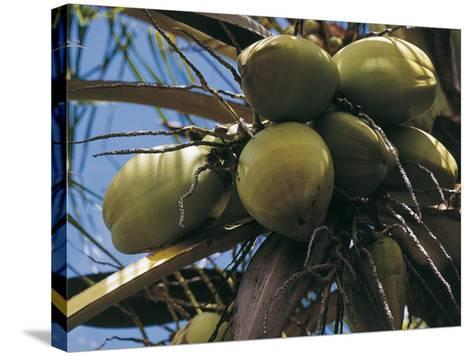 Low Angle View of Coconut Palm Trees (Cocos Nucifera)--Stretched Canvas Print