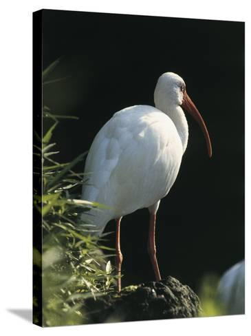 Close-Up of a White Ibis, Usa (Eudocimus Albus)--Stretched Canvas Print