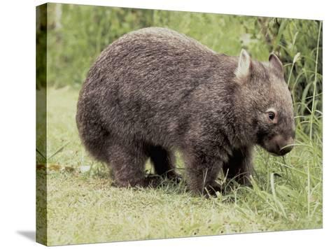 Close-Up of a Common Wombat (Vombatus Ursinus)--Stretched Canvas Print