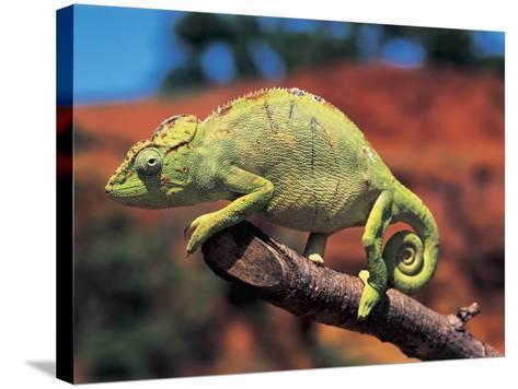 Close-Up of a Female Oustalet's Chameleon (Furcifer Oustaleti)--Stretched Canvas Print