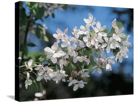 Close-Up of a Japanese Flowering Crabapple Tree ( Malus Floribunda)-S^ Montanari-Stretched Canvas Print