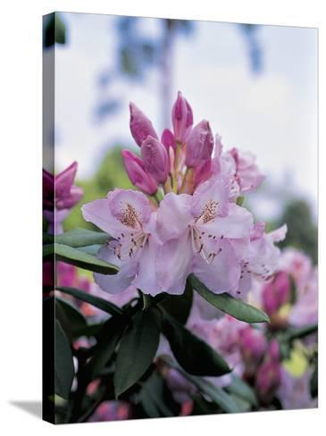 Close-Up of Rhododendron Mrs--Stretched Canvas Print