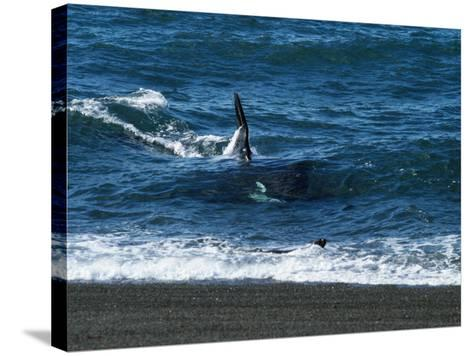 Killer Whale {Orcinus Orca} Attacking Sealion, Valdez Peninsula, Argentina-Jeff Foott-Stretched Canvas Print