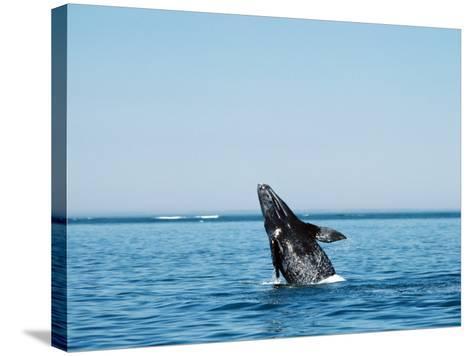 Gray Whale Calf, Eschrichtius Robustus, San Ignacio Lagoon, Baja California Sur,-Jeff Foott-Stretched Canvas Print