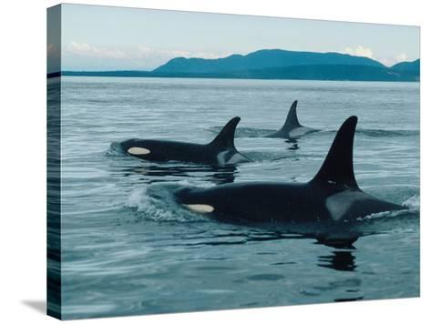Group of Killer Whales Swim on Surface of Ocean with Mountains in the Background-Jeff Foott-Stretched Canvas Print