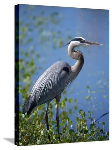 Great Blue Heron (Ardea Herodias) Standing at Water's Edge, Florida, Usa-Jeff Foott-Stretched Canvas Print