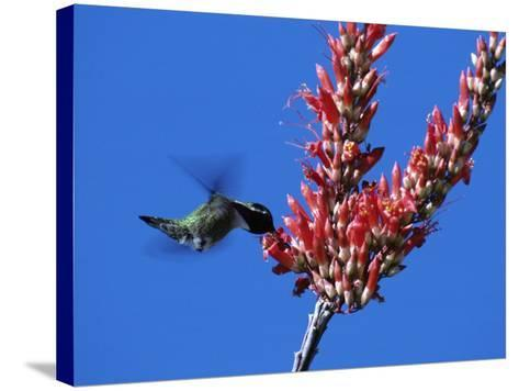 Costa's Hummingbird (Calypte Costae) Hovering by a Flower Blossom, Arizona, Usa-Jeff Foott-Stretched Canvas Print