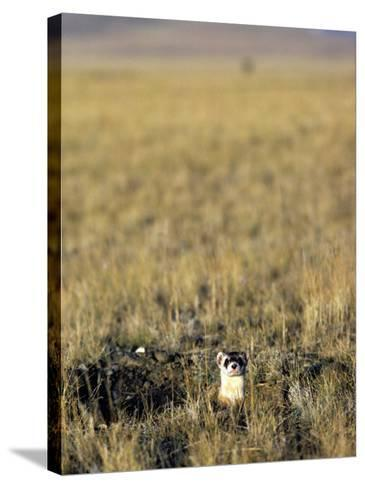 Black-Footed Ferret (Mustela Nigripes) in Grassland, Wyoming, Usa-Jeff Foott-Stretched Canvas Print