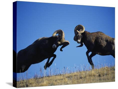 Rams Display Traditional Mating Season Behavior by Butting Heads-Jeff Foott-Stretched Canvas Print