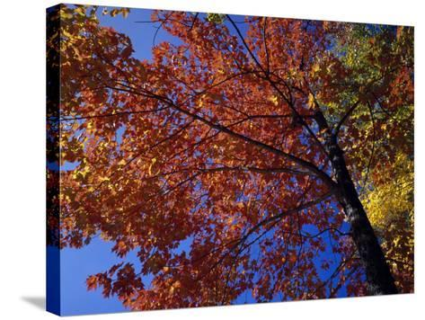 Autumn Color Sugar Maple Tree Foliage (Acer Saccharum), White Mountains National Park-Jeff Foott-Stretched Canvas Print