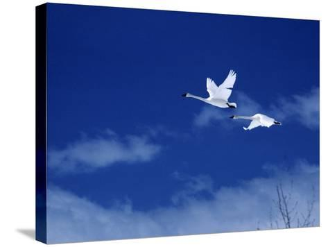 Pair of Trumpeter Swans (Cygnus Cygnus Buccinator) in Flight Against a Blue Sky, Usa-Jeff Foott-Stretched Canvas Print