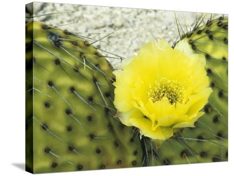 Detail of Bright Yellow Flower of a Prickly Pear Cactus (Opuntia) Isla San Francisco-Jeff Foott-Stretched Canvas Print