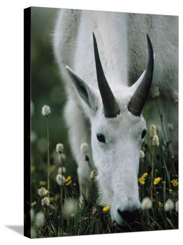 Young mountain goat eats alpine flowers, Mount Evans, Colorado, North America-Jeff Foott-Stretched Canvas Print