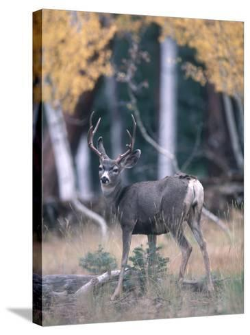 Kaibab Mule Deer Looks Startled While Searching for Food in the Woods-Jeff Foott-Stretched Canvas Print
