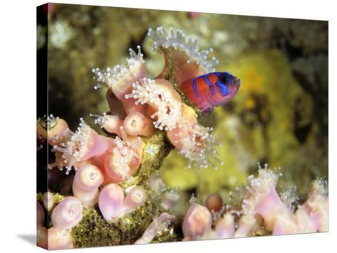 Blue Banded Goby (Lythrypnus Dalli) on Strawberry Sea Anemone, Monterey Bay, California, Usa-Jeff Foott-Stretched Canvas Print