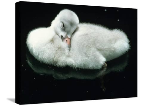 Close Up of Trumpeter Swan (Olor Buccinator) Cygnet Cleaning Feathers-Jeff Foott-Stretched Canvas Print
