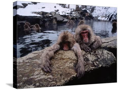 Japanese Macaque/Snow Monkeys are Submersed in Water While Clinging to Rocks-Jeff Foott-Stretched Canvas Print