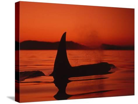 Killer Whale Swims on Surface, in Low Light, Spouting with Mountains in Background-Jeff Foott-Stretched Canvas Print