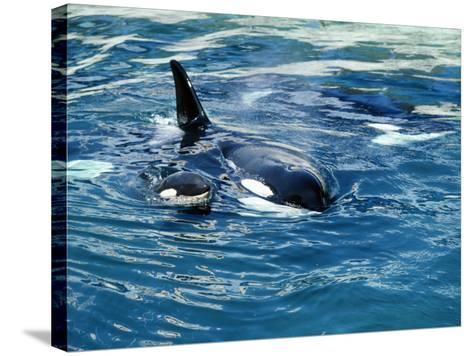 Killer Whale (Orcinus Orca) Mother with Calf-Jeff Foott-Stretched Canvas Print