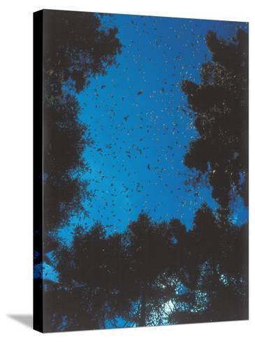 Swarm of Monarch Butterflies Migrate-Jeff Foott-Stretched Canvas Print