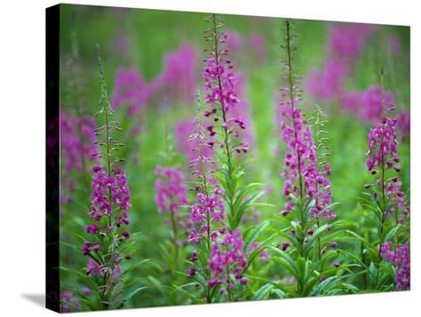 Rocky Mountain Flowers Standing in a Field on a Summer Day-Jeff Foott-Stretched Canvas Print