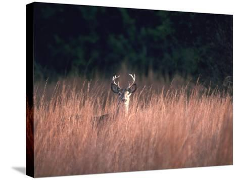 Whitetail Deer Stands in High Wild Grass Hiding-Jeff Foott-Stretched Canvas Print