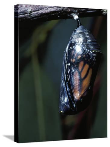 Monarch Butterfly in Chrysalis Stage-Jeff Foott-Stretched Canvas Print