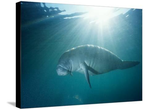 Manatee Underwater, Sunlight Filtering Through Surface-Jeff Foott-Stretched Canvas Print