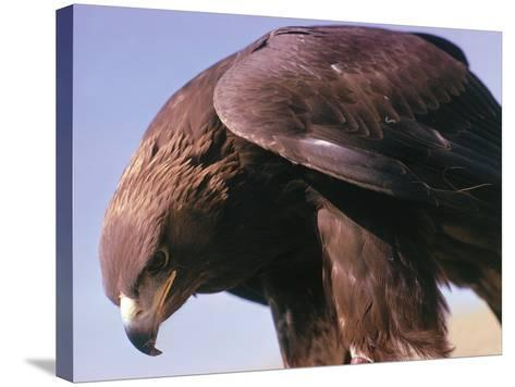 Detail of Golden Eagle with Full Brown Feathers-Jeff Foott-Stretched Canvas Print