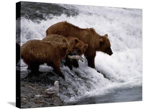 Grizzly Bear Mother Andyoung Hunting Fish-Jeff Foott-Stretched Canvas Print