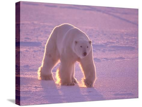 Male Polar Bear in the Morning Light-Jeff Foott-Stretched Canvas Print