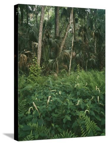 Usa, Florida, Highland Hammock State Park-Jeff Foott-Stretched Canvas Print
