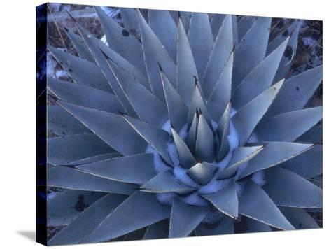 Detail of a Blue Agave in the Winter-Jeff Foott-Stretched Canvas Print