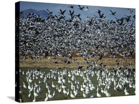 Snow Geese Taking Off from Field, New Mexico, Usa-Jeff Foott-Stretched Canvas Print