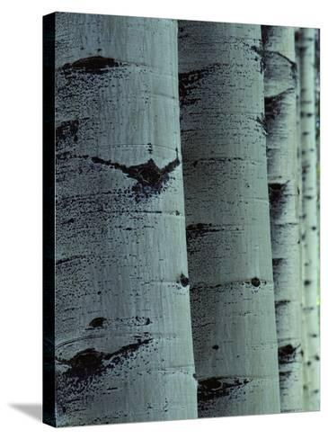 Detailed of Several Aspen Tree Trunks-Jeff Foott-Stretched Canvas Print