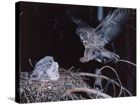 Great Gray Owl Lands on Nest Occupied by Young-Jeff Foott-Stretched Canvas Print