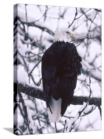 Bald Eagle Among Snow Covered Tree Branches-Jeff Foott-Stretched Canvas Print