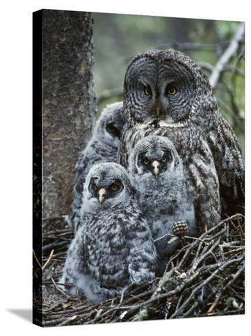 Great Grey Owl Female and Chicks at Nest-Jeff Foott-Stretched Canvas Print