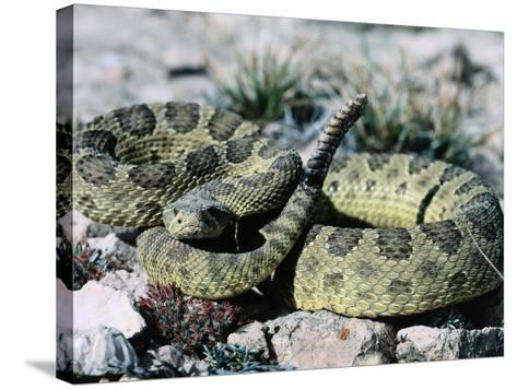 Prairie Rattler Coiled in a Ball with its Tail Up-Jeff Foott-Stretched Canvas Print